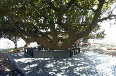 gordons_bay_milkwood_trees